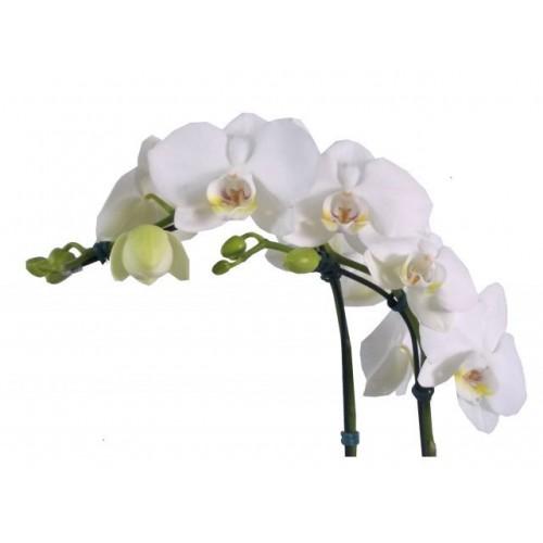 Phalaenopsis 1 Hastes