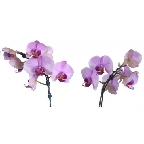 Phalaenopsis 2 Hastes